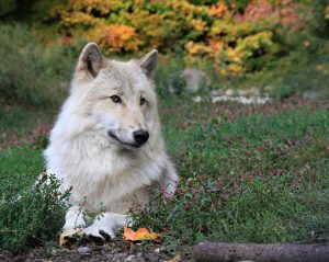 UniquePhoto-Wolf-Conservation